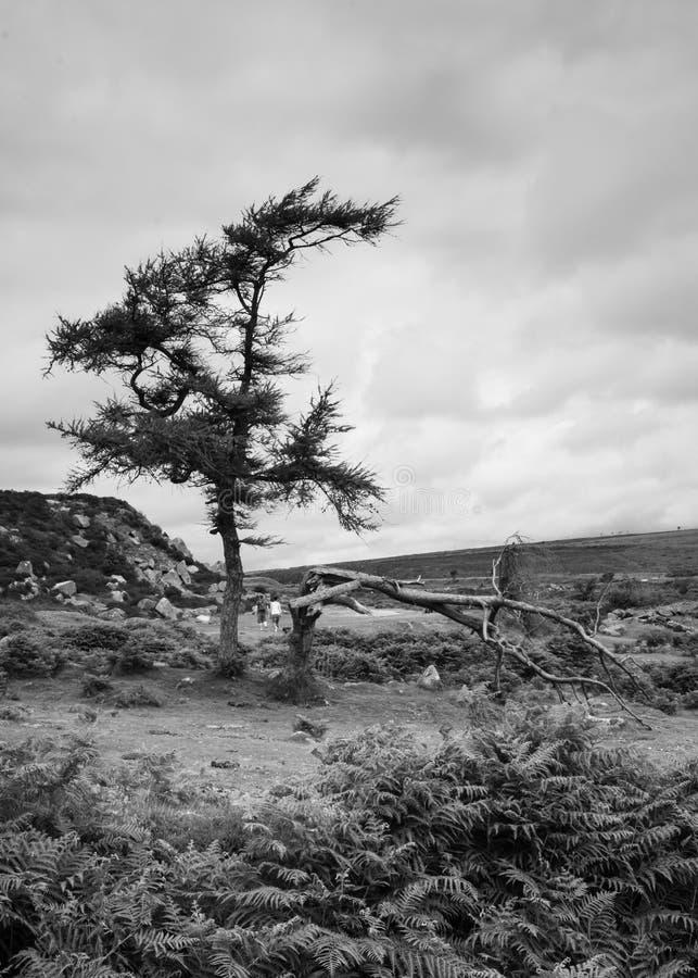 Árboles de Dartmoor (bw, modo de retrato) imágenes de archivo libres de regalías