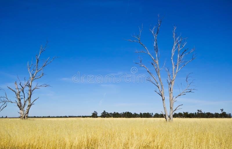 Árboles de goma de eucalipto en prado de heno cerca de Parkes, Nuevo Gales del Sur, Australia imágenes de archivo libres de regalías