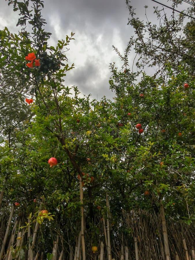 Árboles de granada en Oaxaca foto de archivo