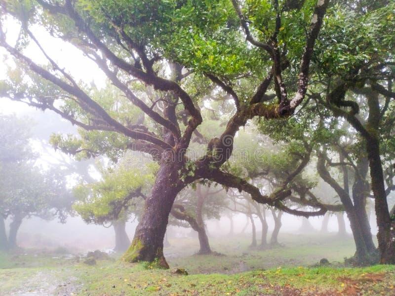 Árboles de hadas en la niebla y la lluvia, Laurel Forest en Madeira fotografía de archivo