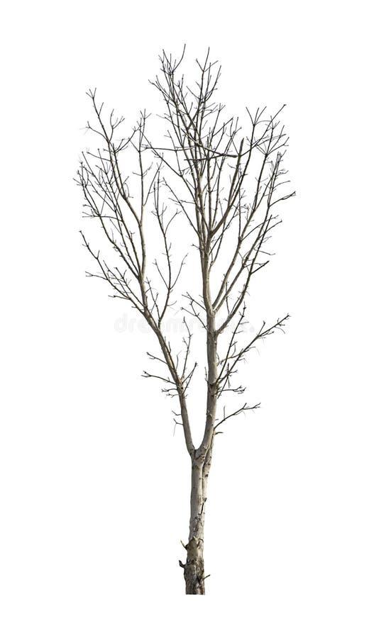 Árboles de hojas caducas aislados pero el tronco y las ramas en un fondo blanco con la trayectoria de recortes imágenes de archivo libres de regalías