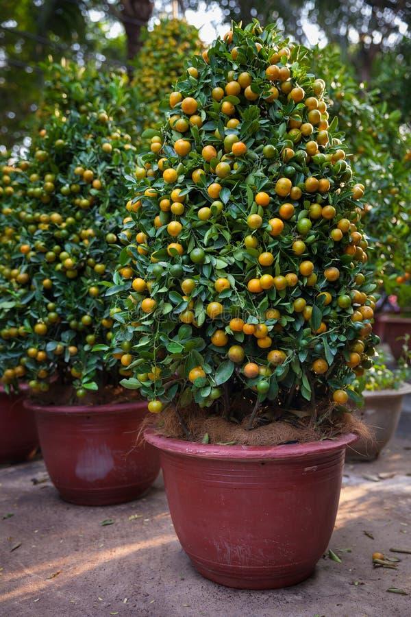 Árboles de kumquat de Tet los símbolos de los días de fiesta lunares del Año Nuevo imagenes de archivo