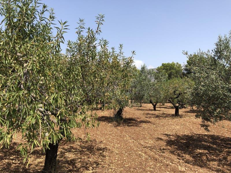 Árboles de la aceituna y de almendra en España fotografía de archivo libre de regalías
