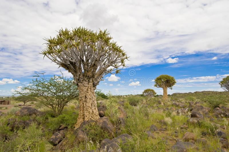 Árboles de la aljaba en Namibia foto de archivo