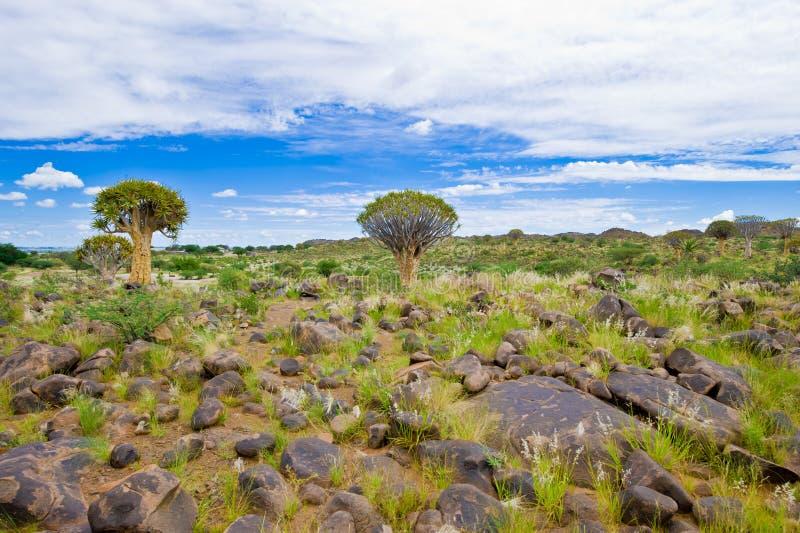 Árboles de la aljaba en Namibia fotografía de archivo