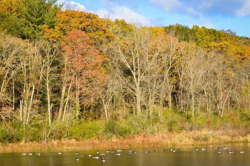 Árboles de la caída con la mañana Sun y la natación de los gansos foto de archivo