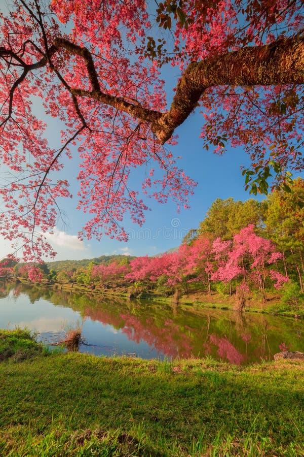 Download Árboles De La Flor De Cerezo Foto de archivo - Imagen de cruz, color: 41919244