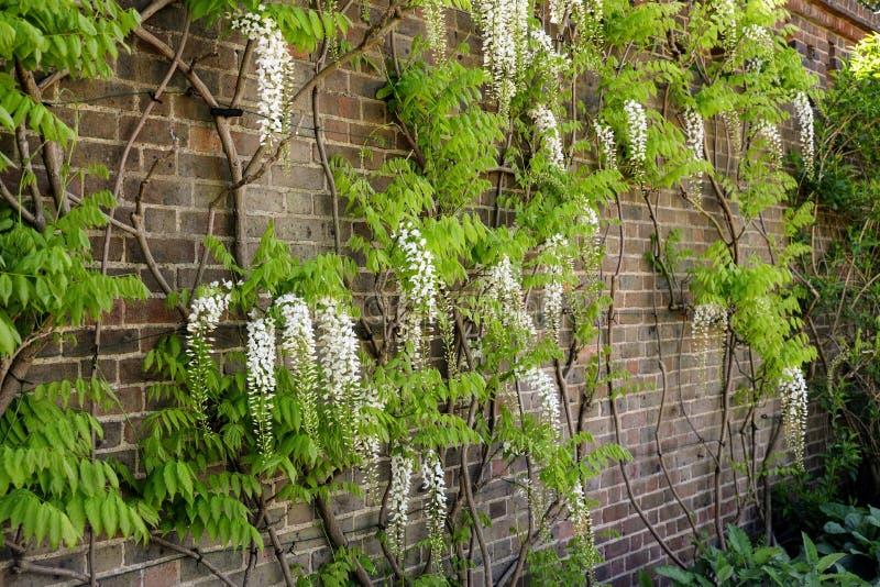Árboles de la glicinia junto a la pared fotos de archivo