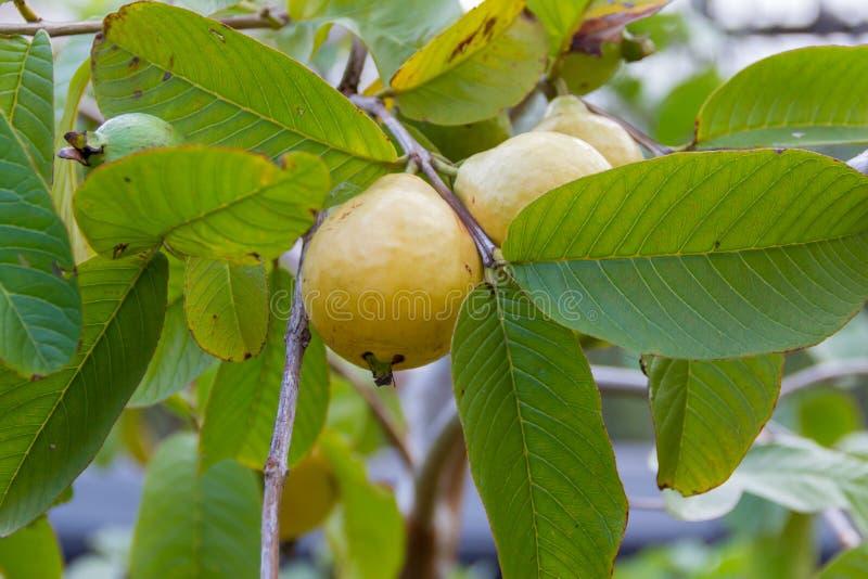 Árboles de la guayaba que maduran en la planta de jardín orgánica fotos de archivo libres de regalías