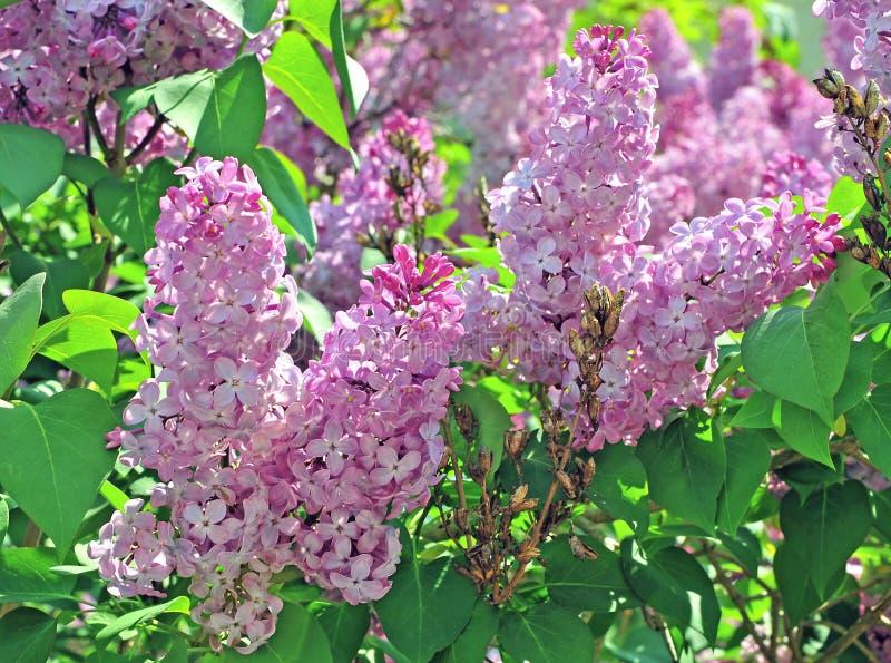 Árboles de la lila en jardín el verano fotografía de archivo