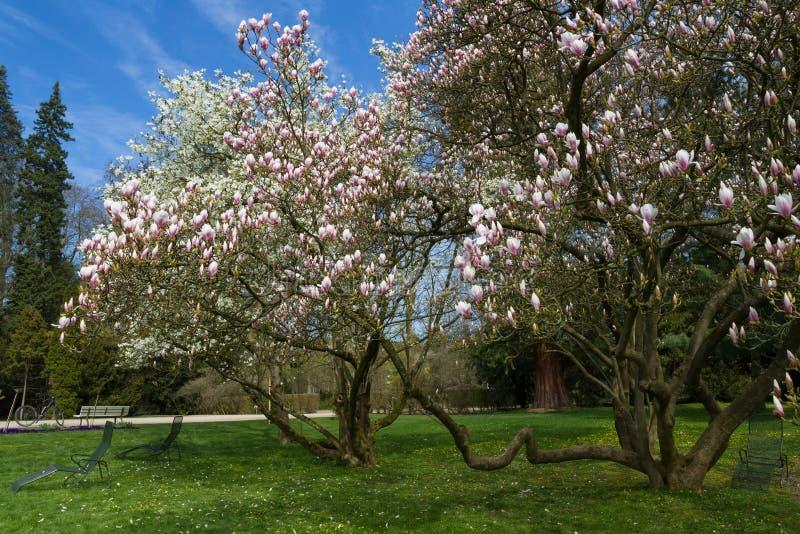 Árboles de la magnolia en primavera temprana fotos de archivo