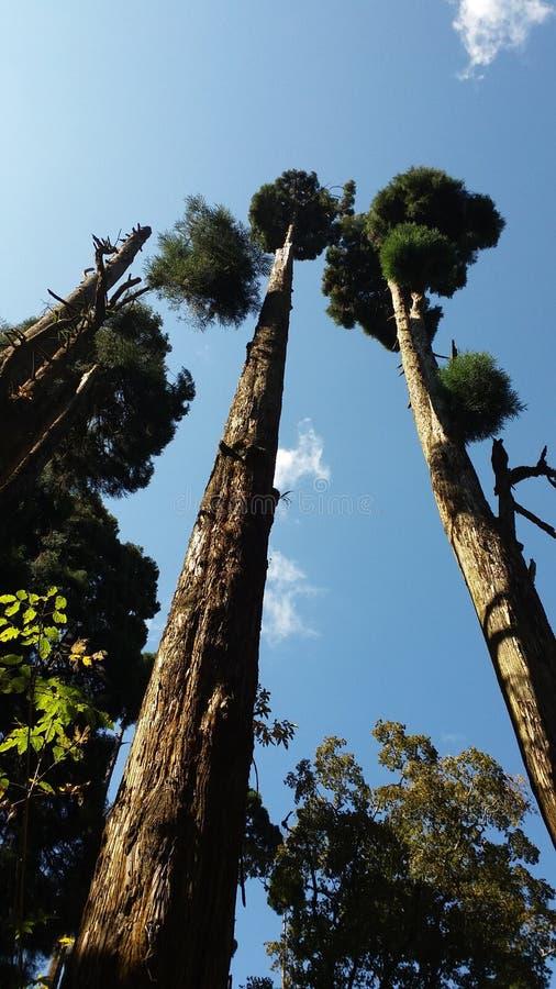 Árboles de la multa de Darjeelings fotos de archivo