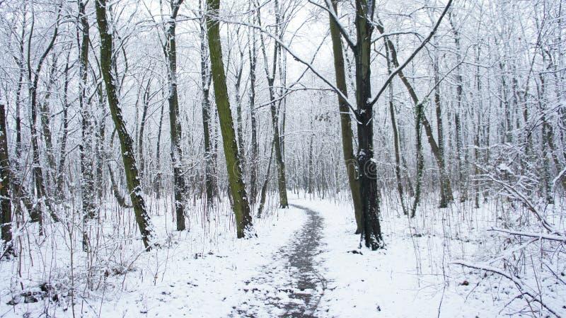 Árboles de la nieve del invierno, perspectiva del camino del parque, filas blancas del árbol del callejón imagen de archivo libre de regalías