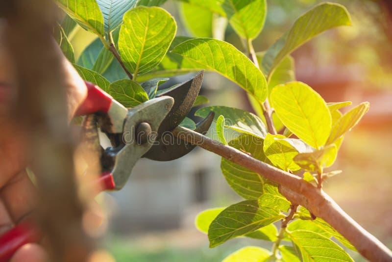 Árboles de la poda del jardinero con las tijeras de podar en fondo de la naturaleza fotografía de archivo