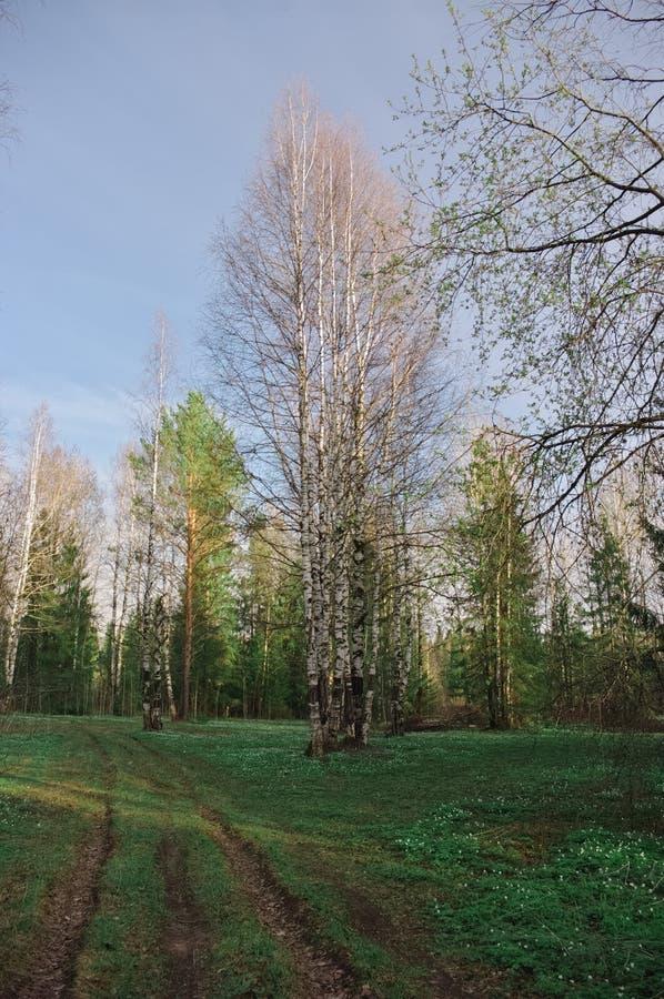 Árboles de la puesta del sol de la estación del bosque del abedul del camino imágenes de archivo libres de regalías