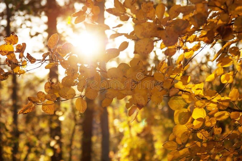Árboles de la puesta del sol y del álamo temblón Luz del sol a través del follaje del árbol Hojas brillantes amarillas en luz del fotografía de archivo