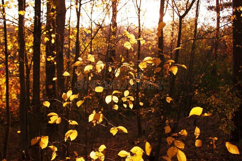 Árboles de la puesta del sol y del álamo temblón Luz del sol a través del follaje del árbol Hojas brillantes amarillas en luz del imagen de archivo libre de regalías