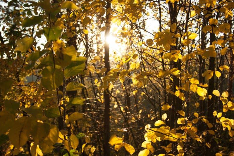 Árboles de la puesta del sol y del álamo temblón Luz del sol a través del follaje del árbol Hojas brillantes amarillas en luz del fotografía de archivo libre de regalías