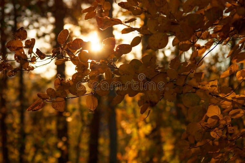 Árboles de la puesta del sol y del álamo temblón Luz del sol a través del follaje del árbol Hojas brillantes amarillas en luz del foto de archivo
