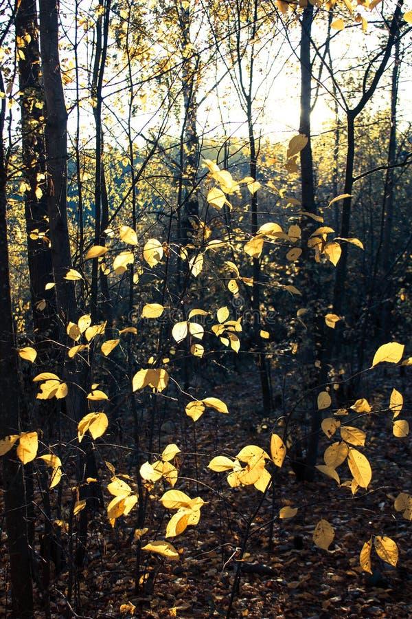 Árboles de la puesta del sol y del álamo temblón Luz del sol a través del follaje del árbol Hojas brillantes amarillas en luz del imagen de archivo