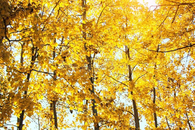 Árboles de la puesta del sol y del álamo temblón Luz del sol a través del follaje del árbol Hojas brillantes amarillas en luz del imagenes de archivo