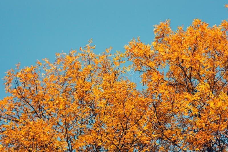 Árboles de la puesta del sol y de ceniza Luz del sol a través del follaje del árbol Hojas amarillas, rojas, anaranjadas en luz de imágenes de archivo libres de regalías