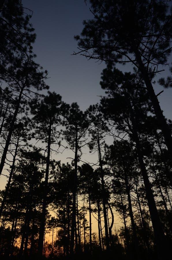 Árboles de la puesta del sol y de pino imagen de archivo