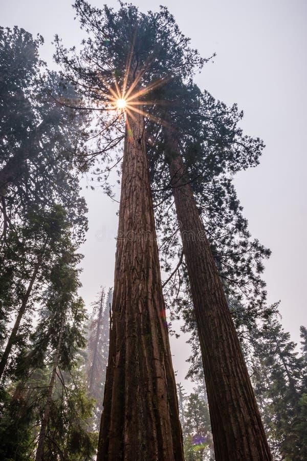 Árboles de la secoya gigante en la arboleda de Mariposa, parque nacional de Yosemite foto de archivo