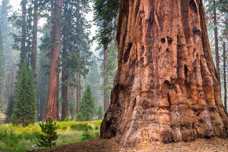 Árboles de la secoya gigante en la arboleda de Mariposa, parque nacional de Yosemite imagenes de archivo
