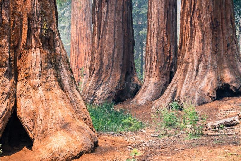 Árboles de la secoya gigante en la arboleda de Mariposa, parque nacional de Yosemite imagen de archivo libre de regalías