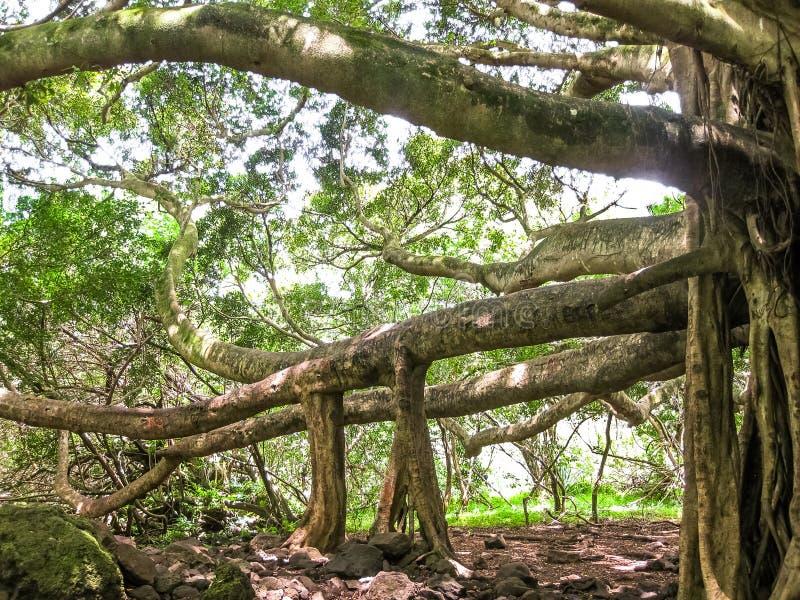 Árboles de la selva tropical en Maui, Hawaii fotografía de archivo libre de regalías