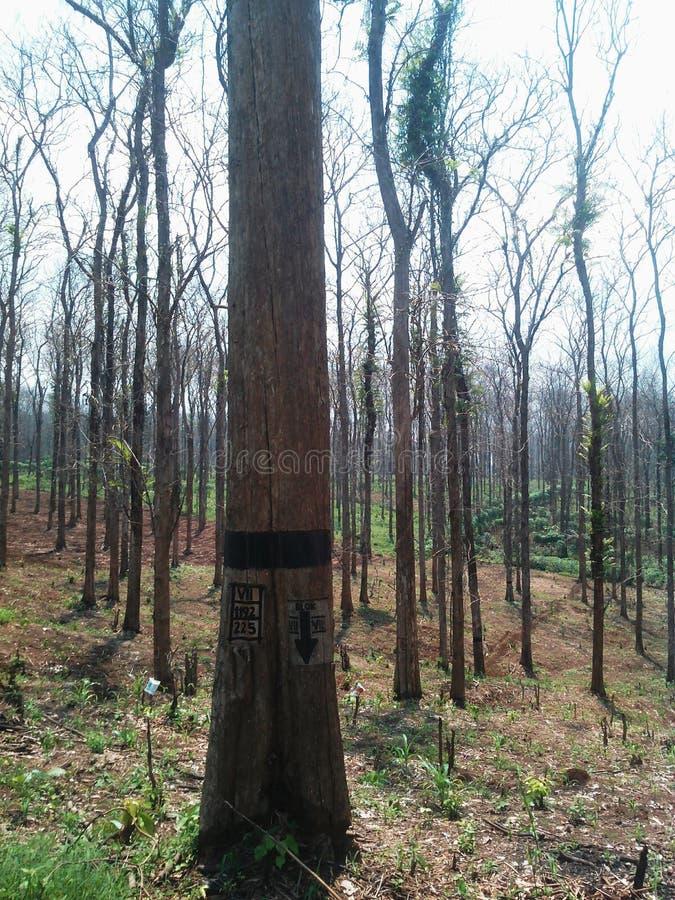 árboles de la teca listos para la cosecha fotografía de archivo