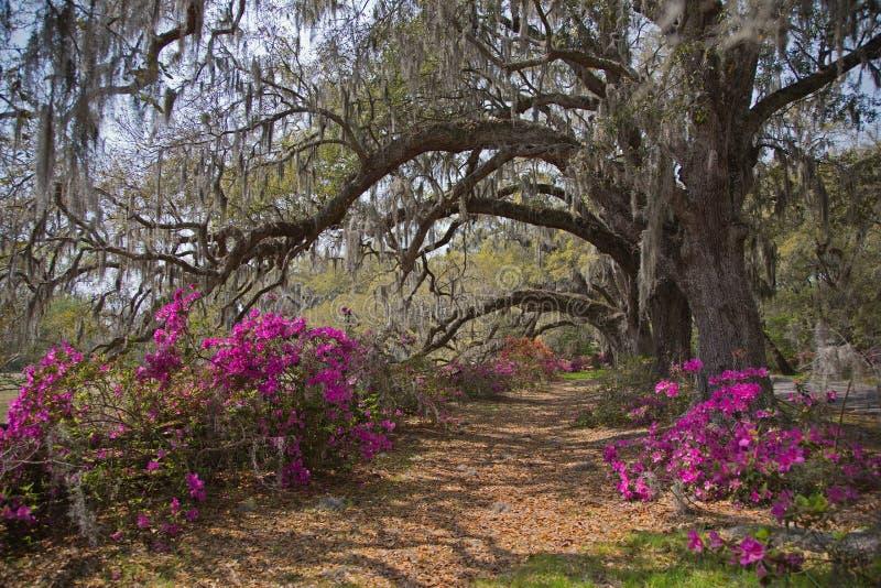 Oakes vivo y azaleas en la plantación de la magnolia imagenes de archivo