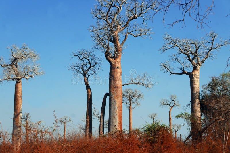 Árboles de los baobabs fotos de archivo