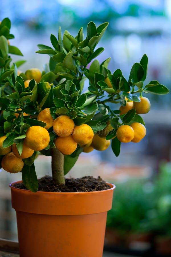 Árboles de mandarina decorativos en los potes para la venta foto de archivo