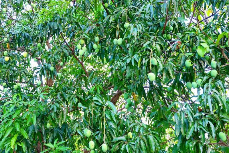 Árboles de mango con muchas frutas del mango fotografía de archivo