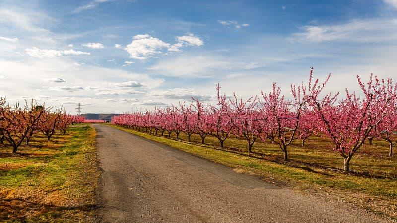 Árboles de melocotón de Crossoing del camino en la primavera temprana que florece en Cataluña fotos de archivo libres de regalías