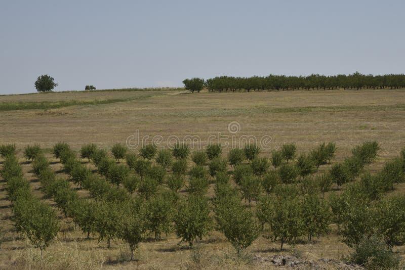Árboles de melocotón en fila y olivo en fondo foto de archivo libre de regalías