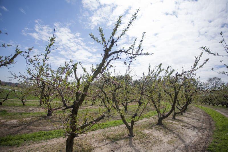 Árboles de melocotón en filas en una huerta en la primavera foto de archivo libre de regalías