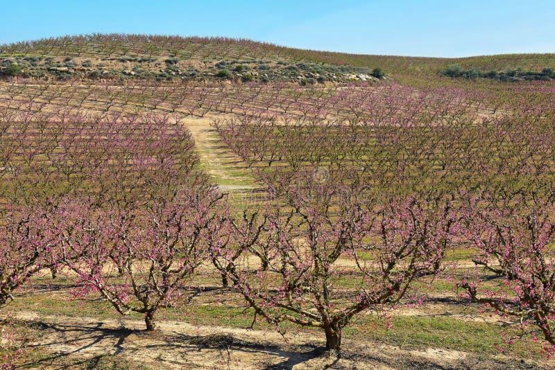 Árboles de melocotón en la primavera temprana que florece en Aitona, Cataluña imágenes de archivo libres de regalías
