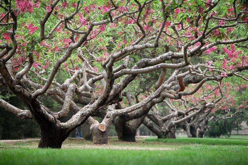 Árboles de melocotón en resorte fotografía de archivo