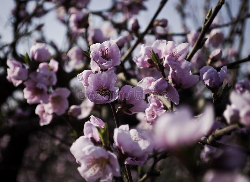Árboles de melocotón florecientes imágenes de archivo libres de regalías