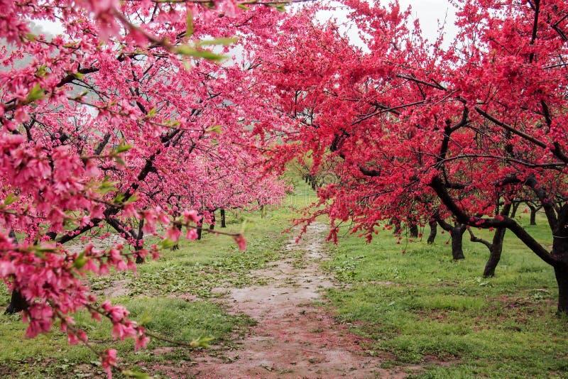 Árboles de melocotón florecientes hermosos en Hanamomo ningún Sato, Iizaka Onsen, Fukushima, Japón fotos de archivo