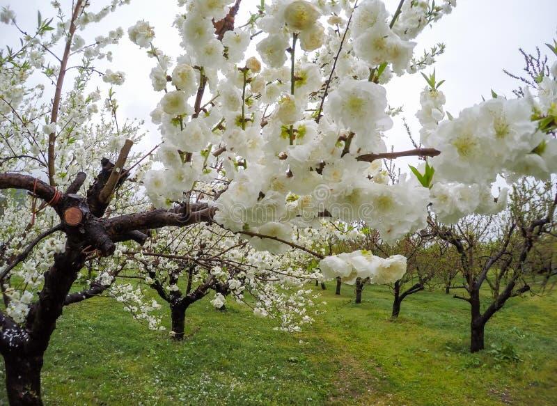 Árboles de melocotón florecientes hermosos en Hanamomo ningún Sato, Iizaka Onsen, Fukushima, Japón imagenes de archivo