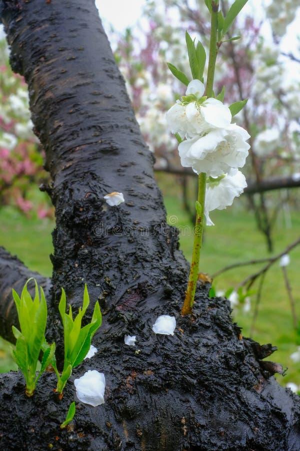 Árboles de melocotón florecientes hermosos en Hanamomo ningún Sato, Iizaka Onsen, Fukushima, Japón fotografía de archivo libre de regalías