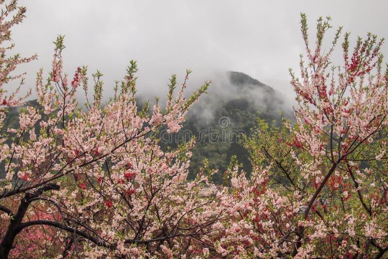 Árboles de melocotón florecientes hermosos en Hanamomo ningún Sato, Iizaka Onsen, Fukushima, Japón imagen de archivo