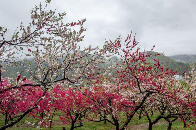 Árboles de melocotón florecientes hermosos en Hanamomo ningún Sato, Iizaka Onsen, Fukushima, Japón imagen de archivo libre de regalías