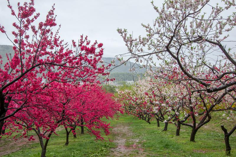 Árboles de melocotón florecientes hermosos en Hanamomo ningún Sato, Iizaka Onsen, Fukushima, Japón fotografía de archivo