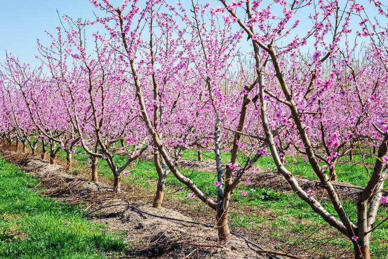 Árboles de melocotón que florecen en primavera imagen de archivo