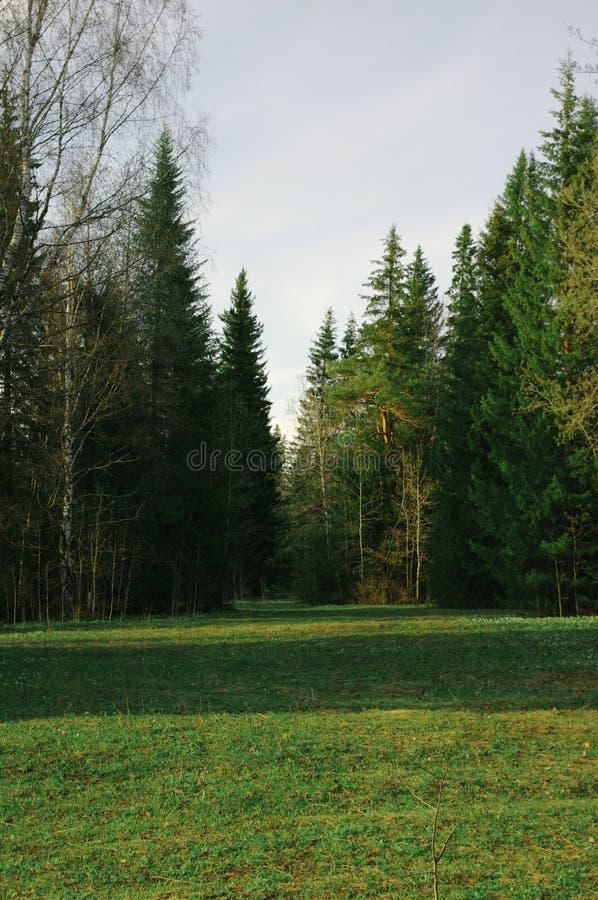 Árboles de navidad de los claros del bosque de la puesta del sol de la primavera foto de archivo libre de regalías